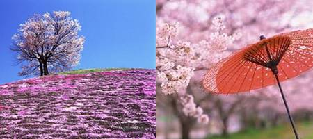 sakura no Japão