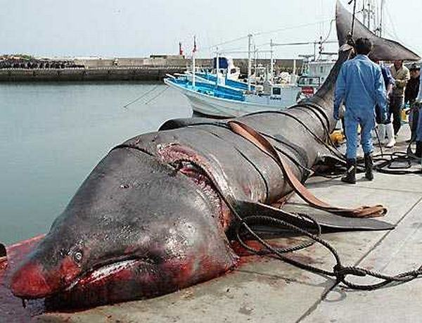 tubarão-filtrador de 9 metros no Japão
