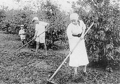 Imigrantes japoneses trabalhando na plantação de café