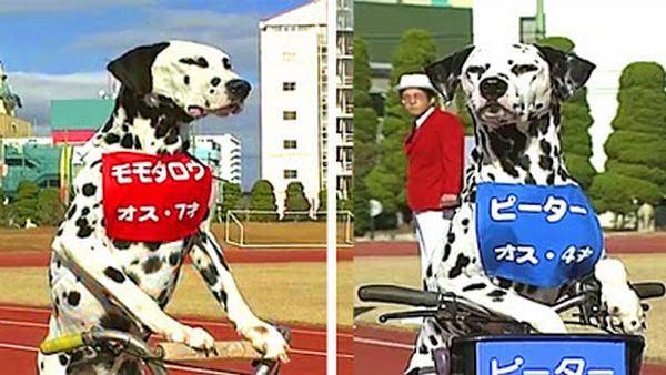 Dalmation Race