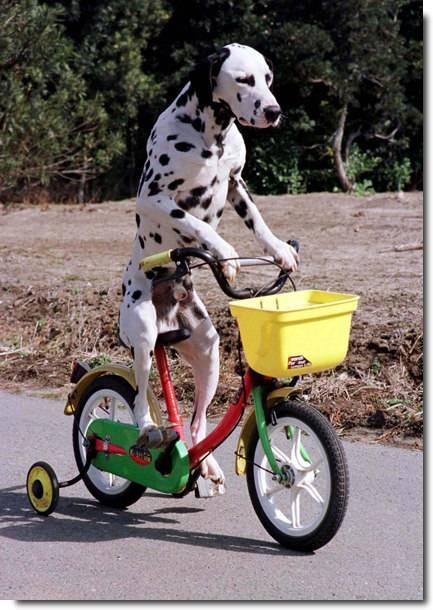 Momotaru, o cão que anda de bicicleta no Japão