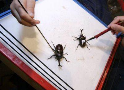 besouros no rigue