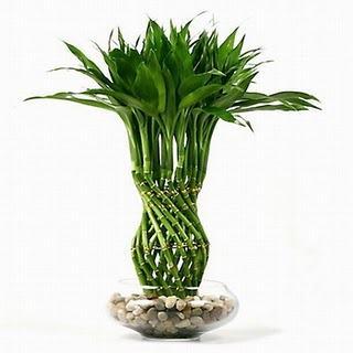 Esta planta tem sido usada com freqüência nas práticas do feng shui