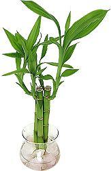 bambu-sorte