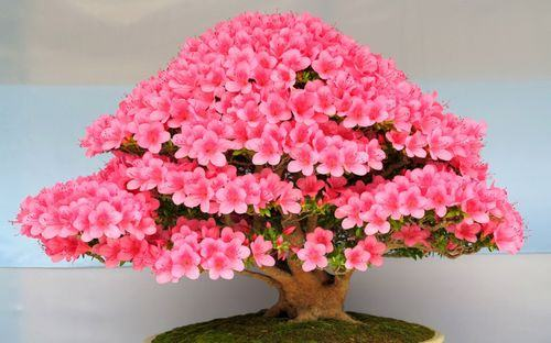 bonsai-tree-history1