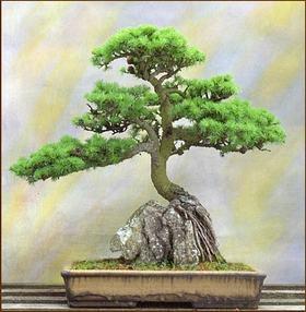 http://www.japaoemfoco.com/wp-content/uploads/2010/06/bonsai1.jpg
