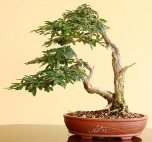 http://www.japaoemfoco.com/wp-content/uploads/2010/06/bonsaii-300x281.jpg