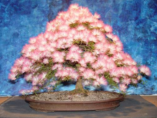 Bonsai de caliandra