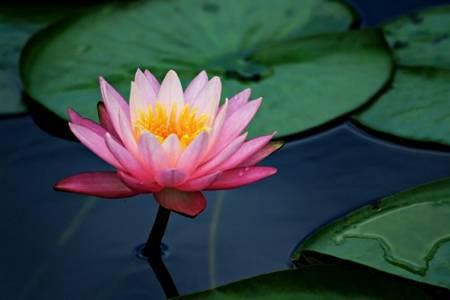 Resultado de imagem para flor de lotus