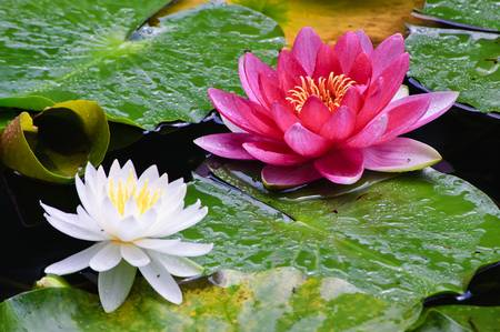 Flor de Lótus 6