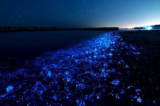 Na baía de Toyama podemos ver as lulas vaga-lume cobrindo vários quilômetros da costa, criando um efeito de espuma azul reluzente.