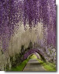 Ashikaga Flower Park e as belas flores Fuji