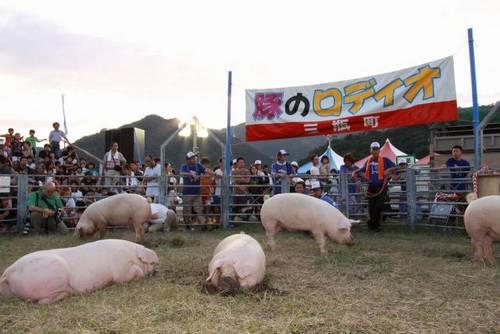 Rodeio de porco em Ehime