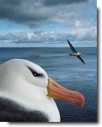 Ahodori, albatrozes japoneses