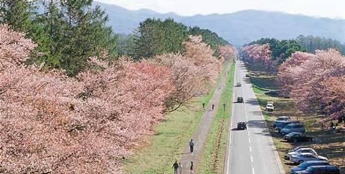 Sakura Namiki Shinhidaka Hokkaido