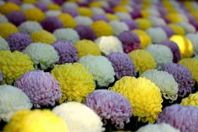 Crisântemo, a flor nacional do Japão