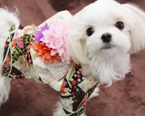cão de quimono