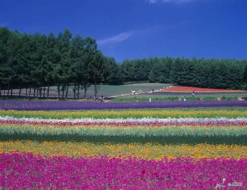 Campos de Flores em Furano, Hokkaido 2