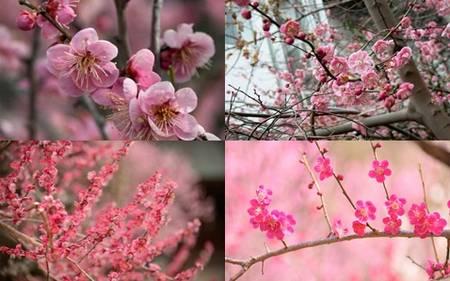 Flor de ameixa e seu simbolismo no Japão