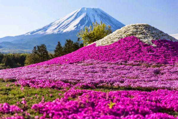 Fuji Shibazakura Festival (forourjapan.blogspot.com)