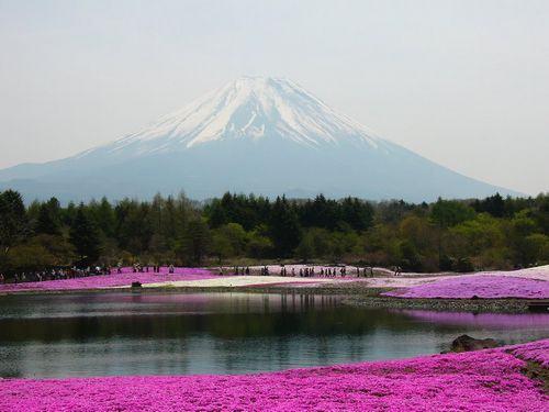 Fuji Shibazakura Flower Festival