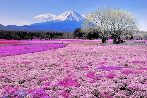 Shibazakura Flower Festival