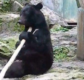 Kung fu bear Asa Zoo