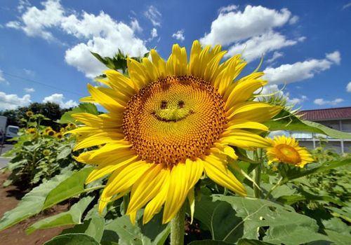 girassóis sorridentes