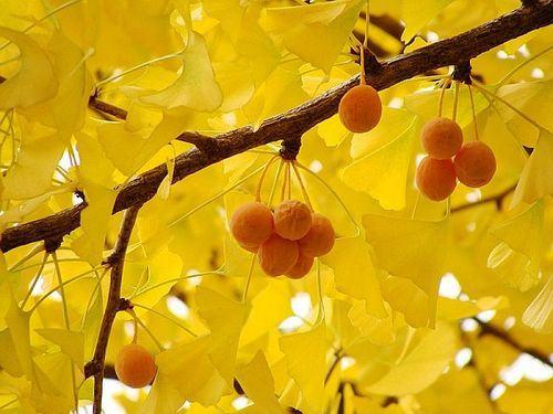 Frutas da árvore ginkgo