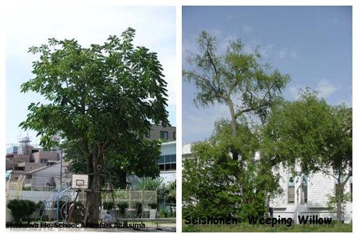 Hibaku Jumoku - Árvores Sobreviventes