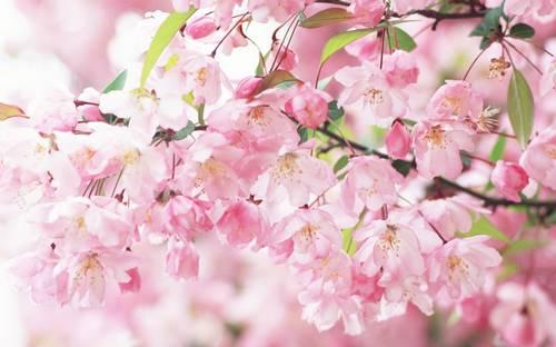Flores de cerejeira sakura