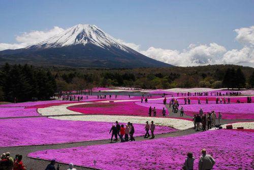 Pink Moss (Shibazakura)