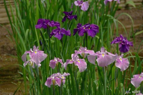 Flor de íris (Hanashobu)