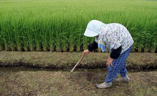 Colheita de arroz no Japão