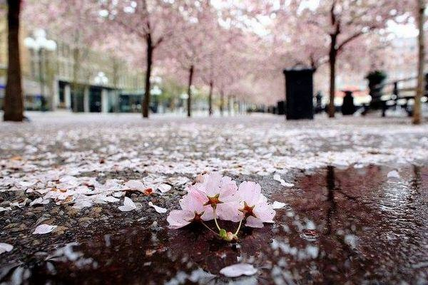curiosidades sobre o sakura