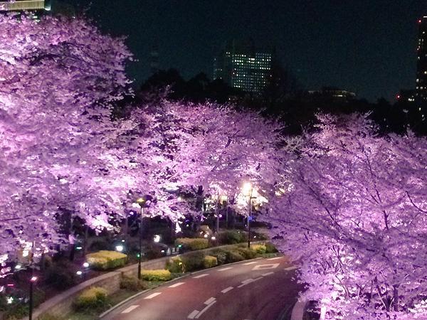 Essas flores de cerejeira tiradas por fotógrafos amadores são simplesmente extraordinárias