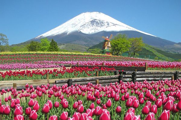 Festival das Tulipas aos pés do Monte Fuji