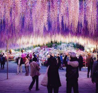 Jardins de Glicínias no Japão