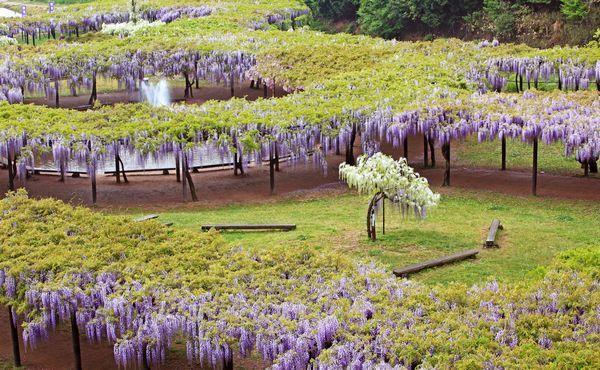 Jardins de Glicínias no Japão - Shirai Oomachi Fuji Park (Hyogo)