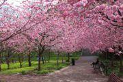 8 lugares para ver a florada de sakura no Brasil