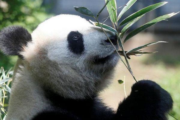 Panda Shin Shin