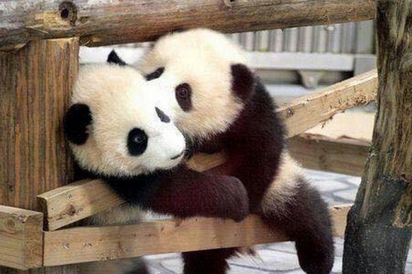 Pandas no Japão