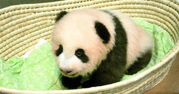 panda shan shan