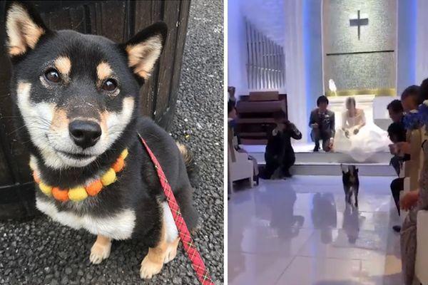 Em vídeo, Shiba Inu leva aliança dos noivos a altar