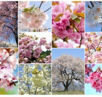 10 variedades japonesas de cerejeira que você vai se apaixonar