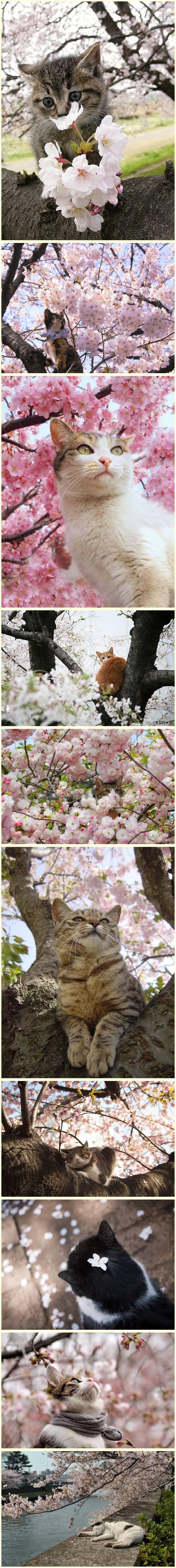 17 Adoráveis gatos com flores de cerejeira