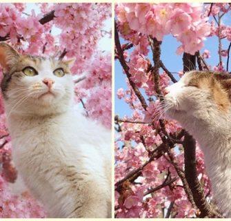 Adoráveis gatos com flores de cerejeira (sakura)