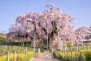 11 Árvores de Sakura Famosas no Japão