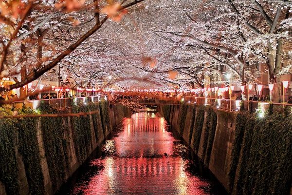 beautiful sakura night