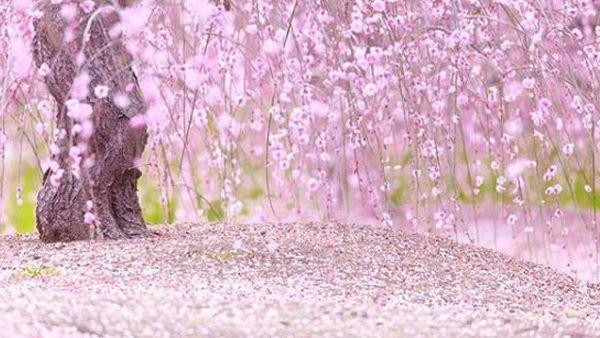 chão coberto com pétalas de cerejeira